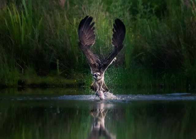 WINNER: Pete Stevens' picture of an osprey catching a fish was the winner of the 2020 'Inspired By Nature' photo competition.