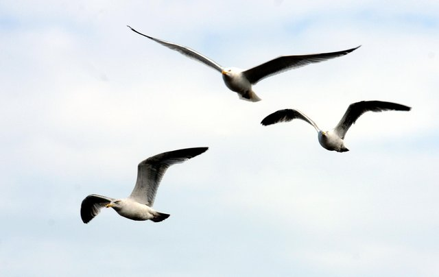 All types of gull are a protected species under the Wildlife and Countryside Act 1981.