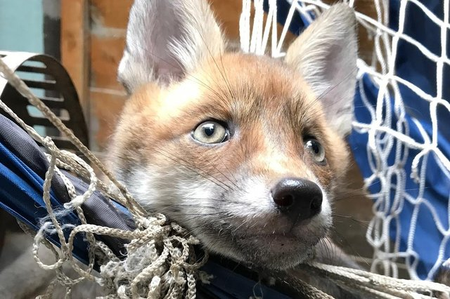 An RSPCA image of a fox caught in netting.