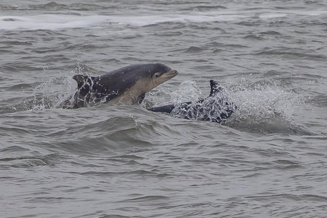 The dolphins were spotted along the Whitburn Coat/Photo: Simon Booth