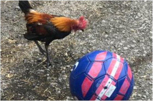 The bird called 'Bend It Like Beckham' because ofhis talent on the ball has been showing off his skills ahead of England's historicEuro 2020 final againstItaly.